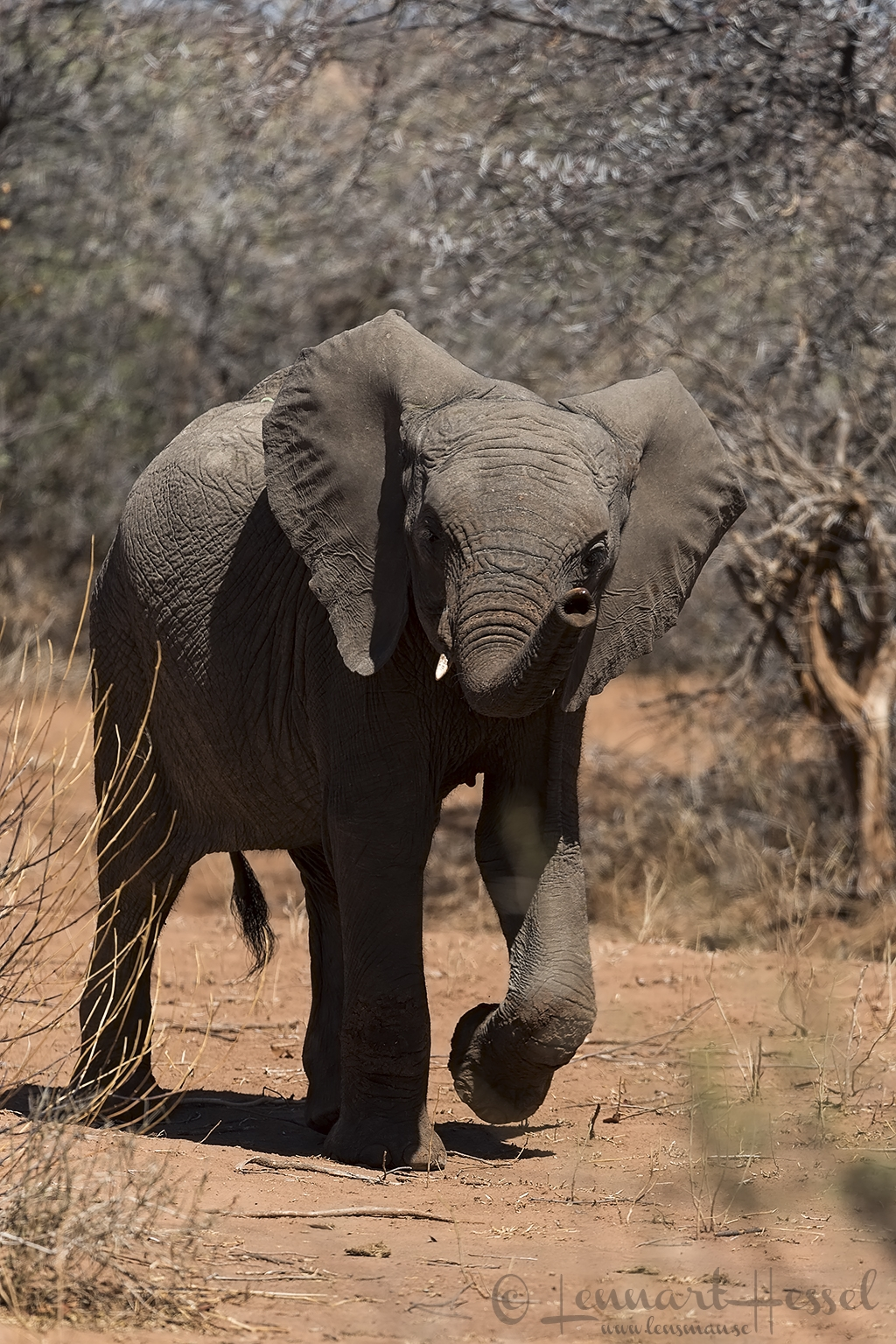 African Elephant sniffing Tuli Block Tuli Wilderness