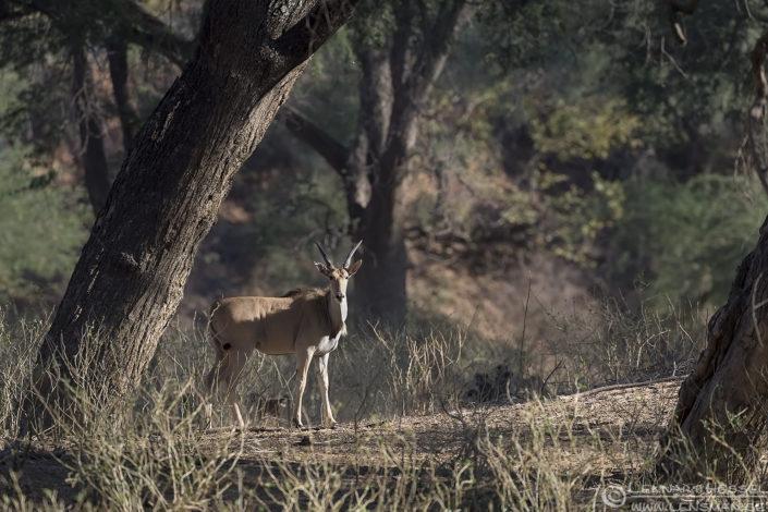 Eland Tuli Block Tuli Wilderness