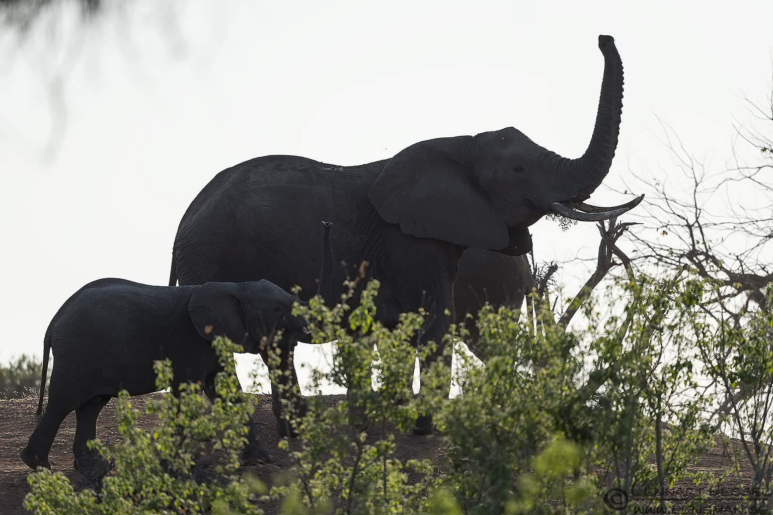 Elephants Tuli Block Tuli Wilderness