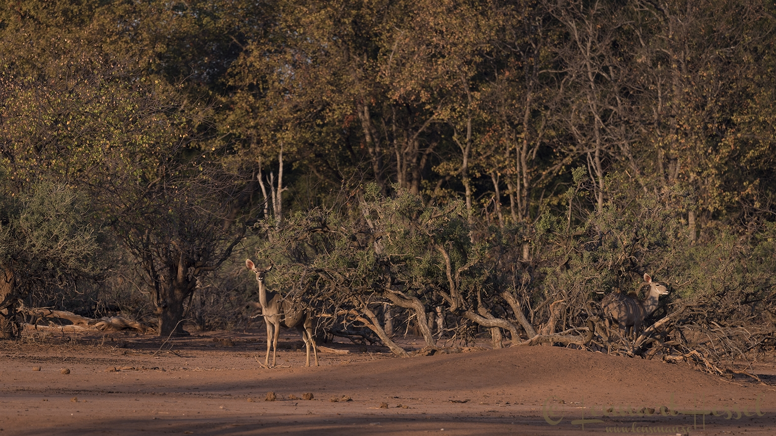 Kudus in habitat Tuli Block Tuli Wilderness