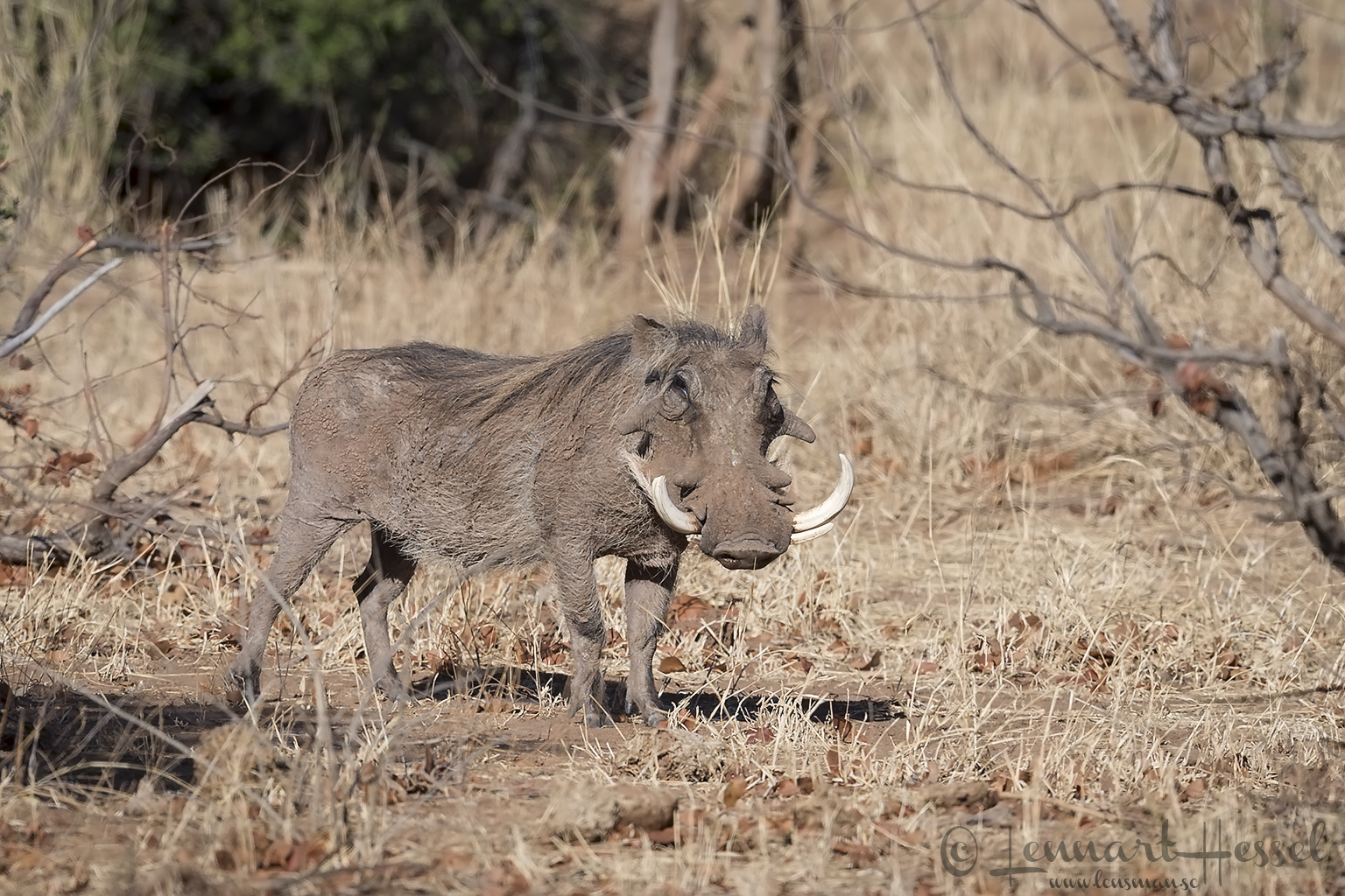 Warthog Tuli Block Tuli Wilderness