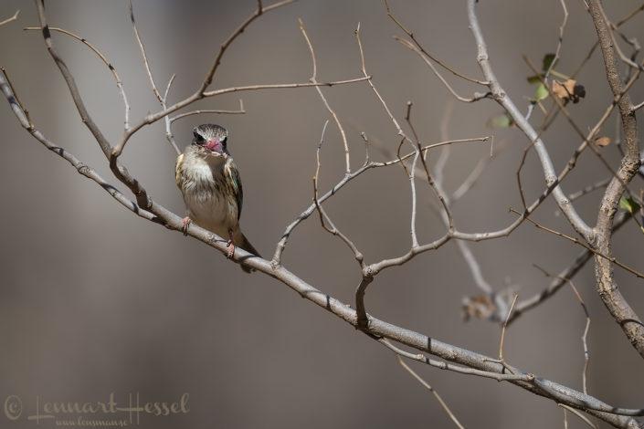 Brown-hooded Kingfisher Tuli Block Tuli Wilderness