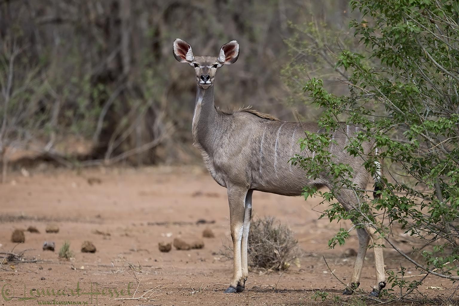 Kudu Tuli Block Tuli Wilderness