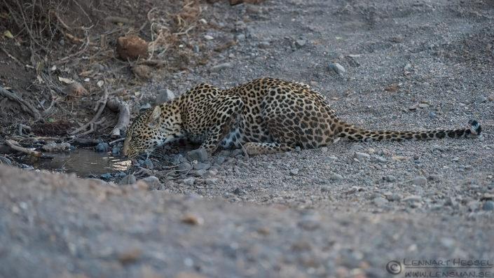 Leopardess drinking Tuli Block Mashatu Game Reserve