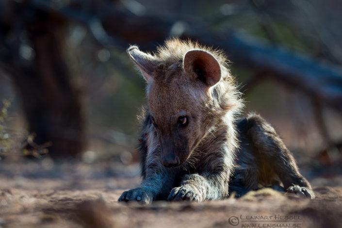 Spotted Hyena pup shy Tuli Block Tuli Wilderness