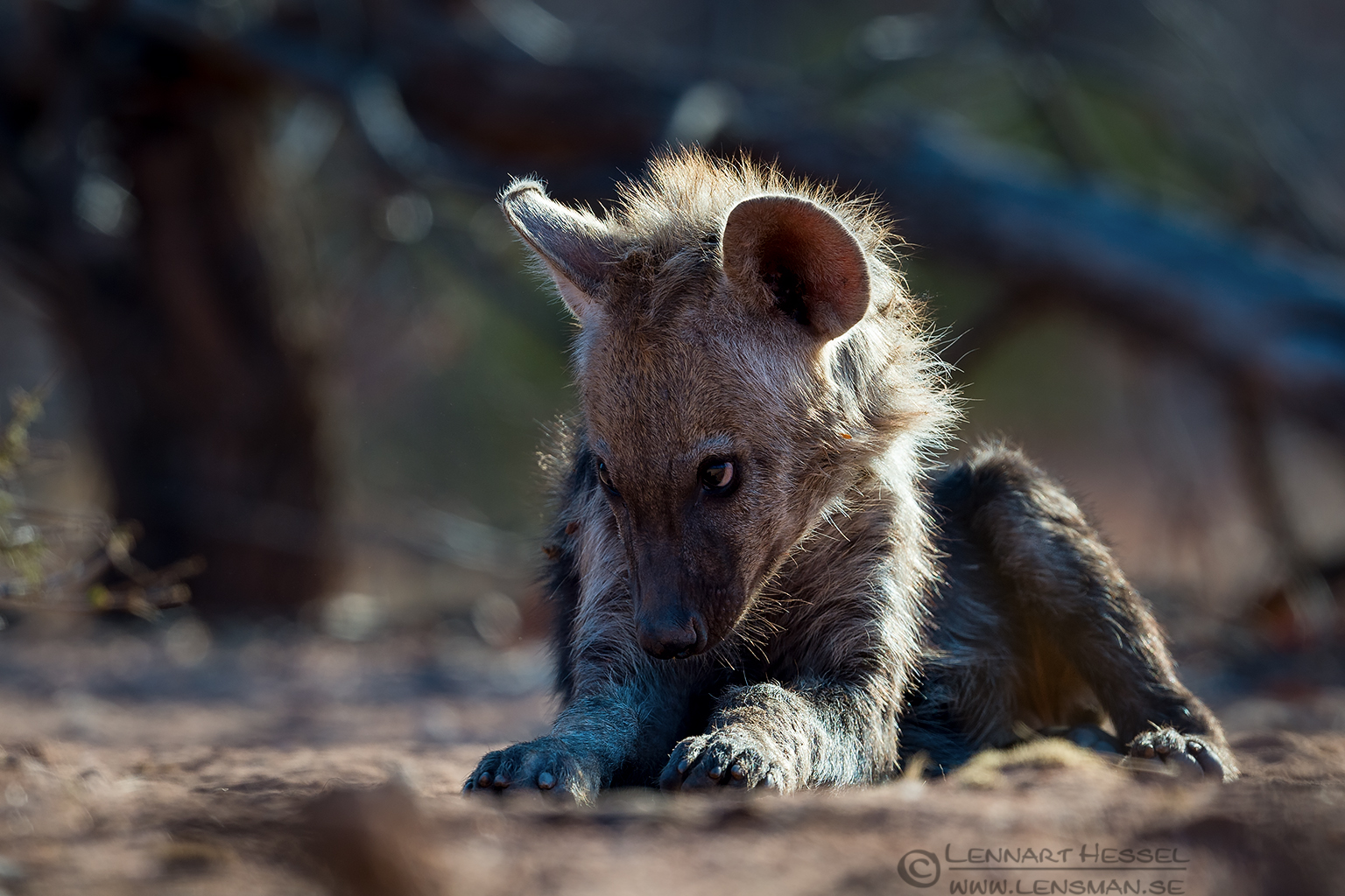 Spotted Hyena pup shy Tuli Block Tuli Wilderness