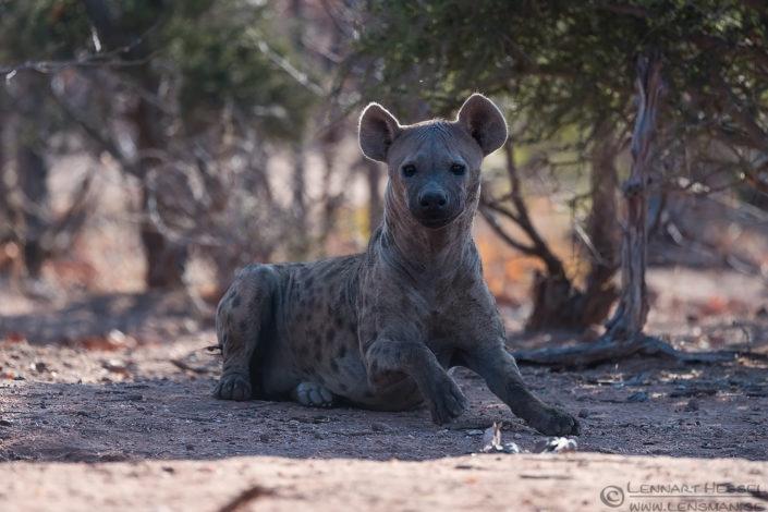 Spotted hyena mom Tuli Block Tuli Wilderness