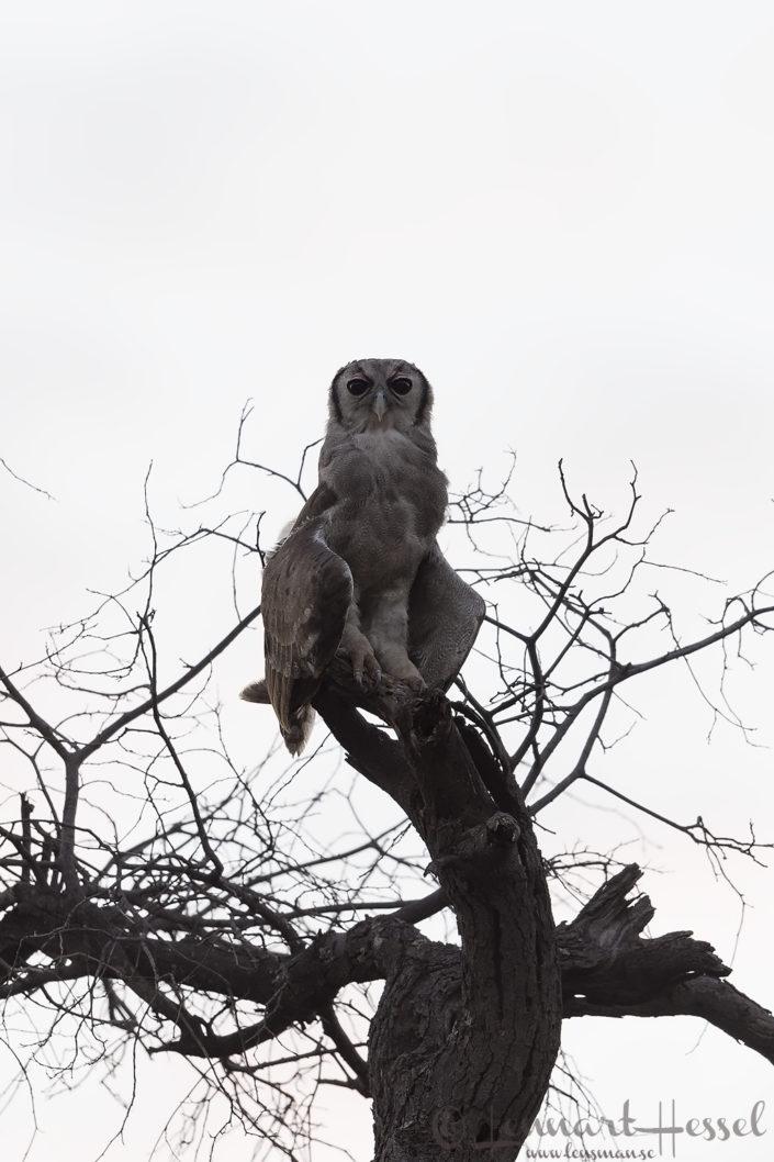 Verraux's Eagle-owl Tuli Block Mashatu Game Reserve