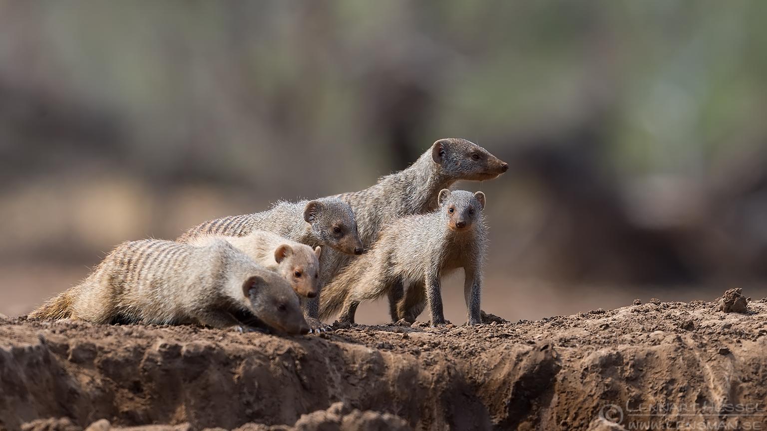 Banded Mongooses Tuli Block Mashatu Game Reserve