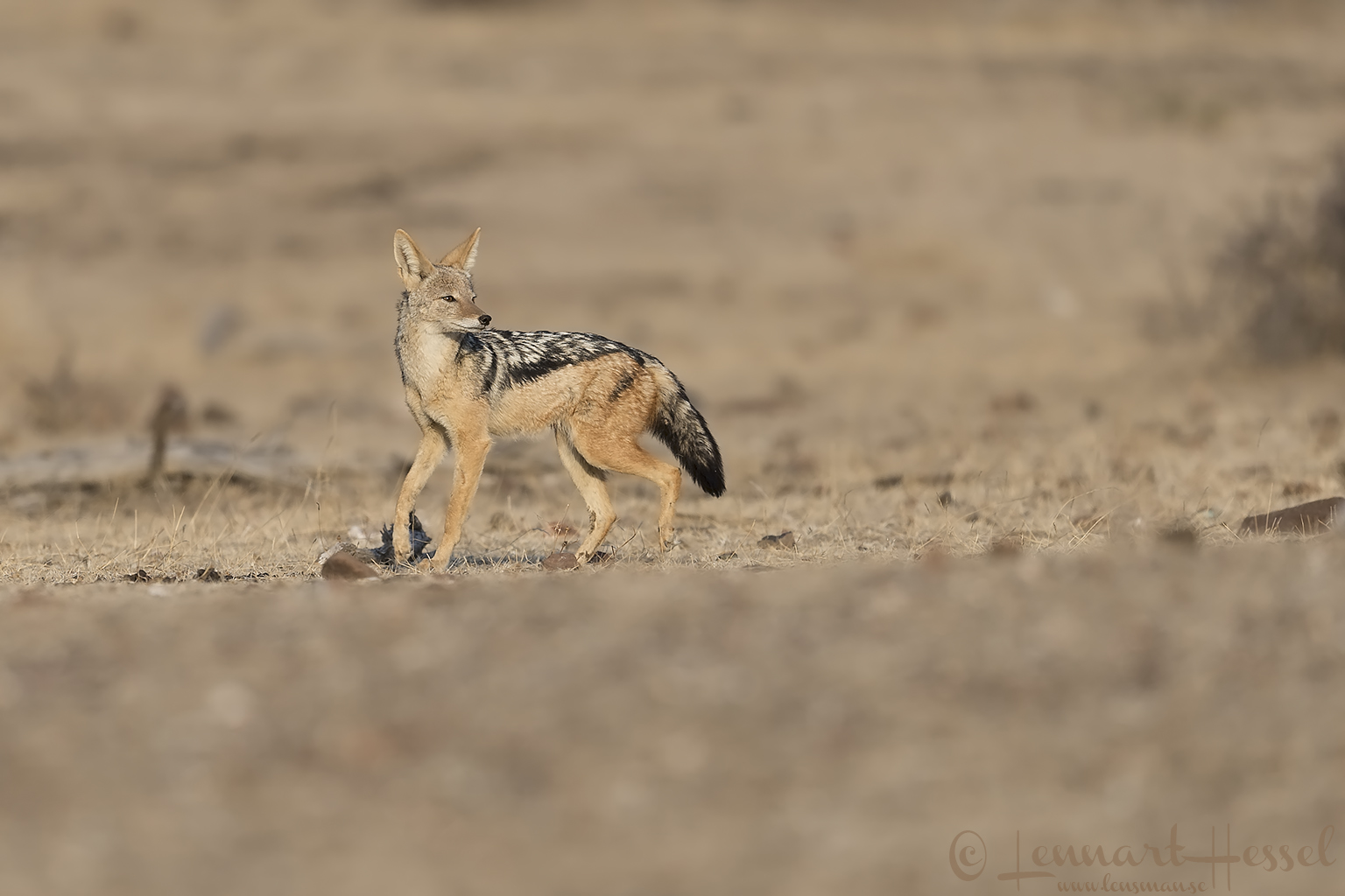 Black-backed Jackal Tuli Block Mashatu Game Reserve
