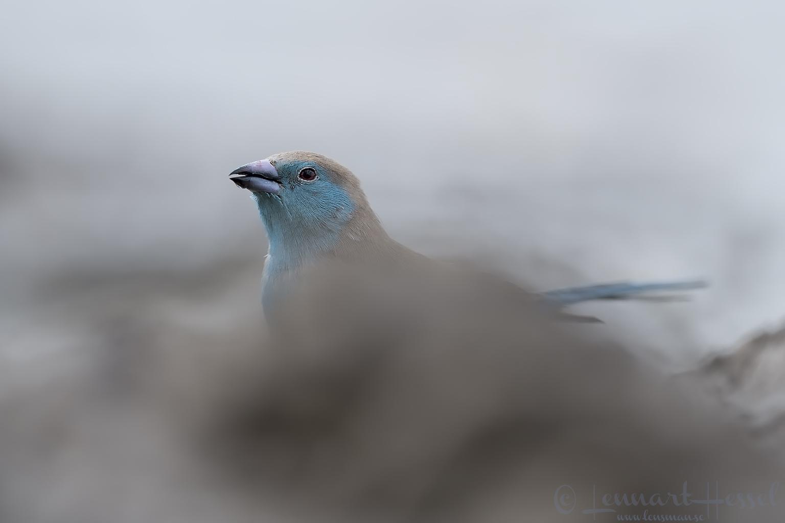 Blue Waxbill Tuli Block Mashatu Game Reserve