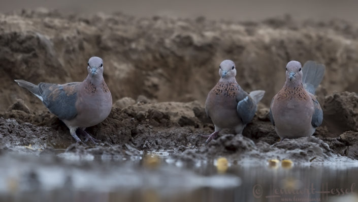 Laughing Dove's Tuli Block Mashatu Game Reserve