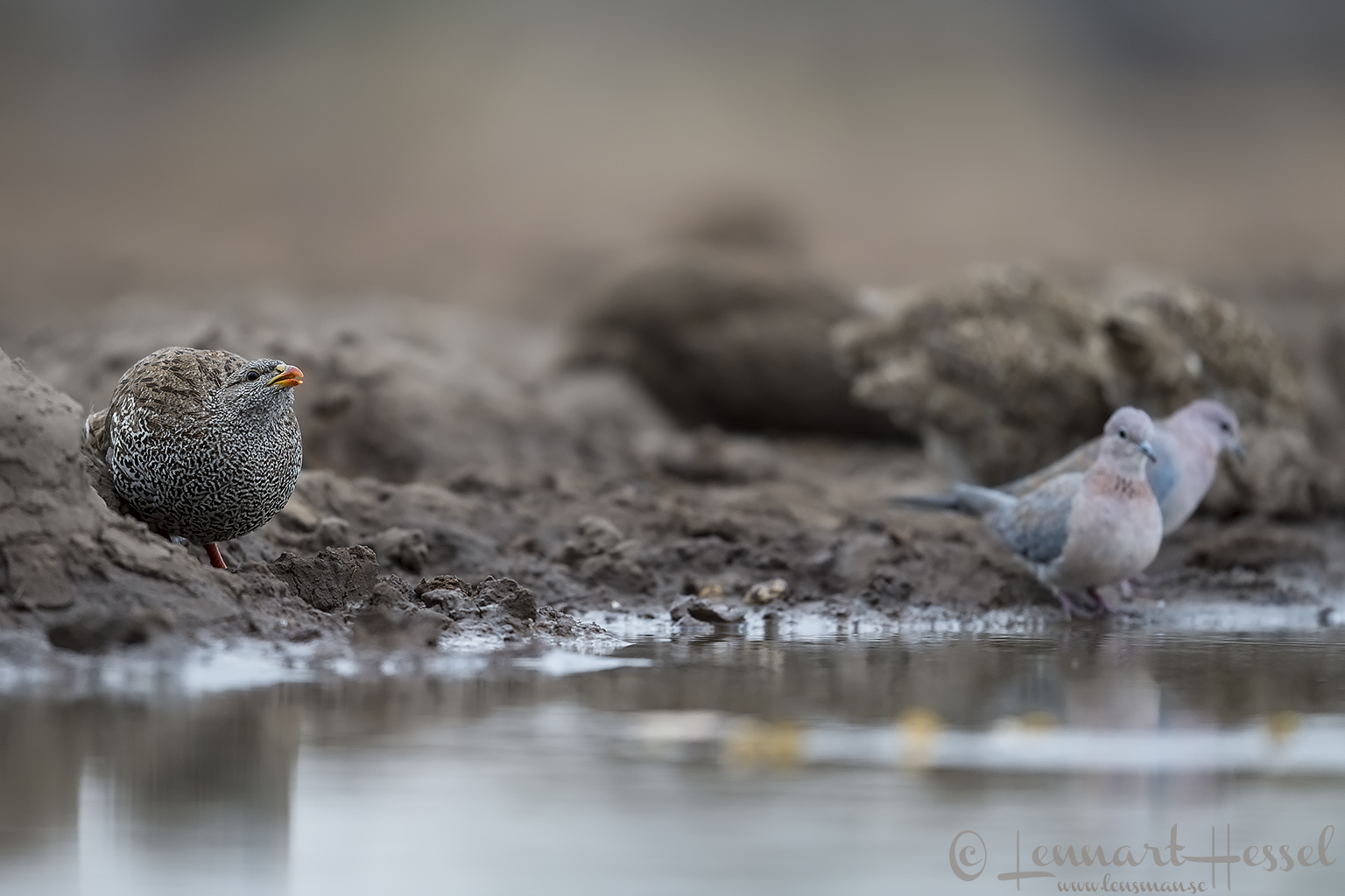 Natal Spurfowl and Laughing Doves Tuli Block Mashatu Game Reserve