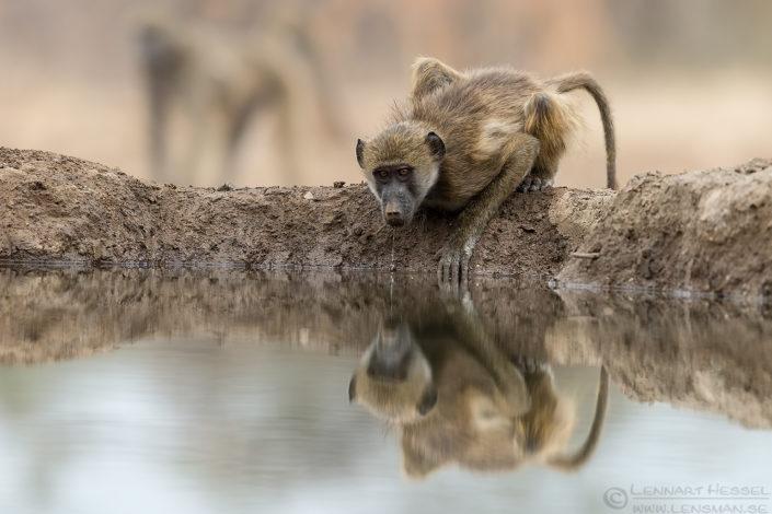 Chacma Baboons drip Tuli Block Mashatu Game Reserve