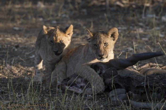 Lion cubs claiming the kill Tuli Block Mashatu Game Reserve