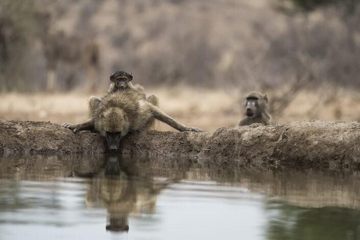 Chacma Baboons and Kudu Tuli Block Mashatu Game Reserve
