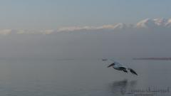 Dalmatian Pelican pano Greece Lake Kerkini