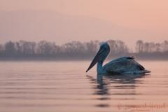 Dalmatian Pelican pink light Greece Lake Kerkini