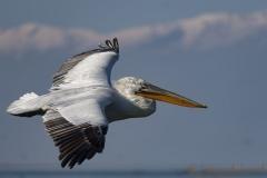 Flying Dalmatian Pelican Greece Lake Kerkini