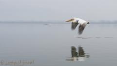 Flying Dalmatian Pelican slow shutter Greece Lake Kerkini