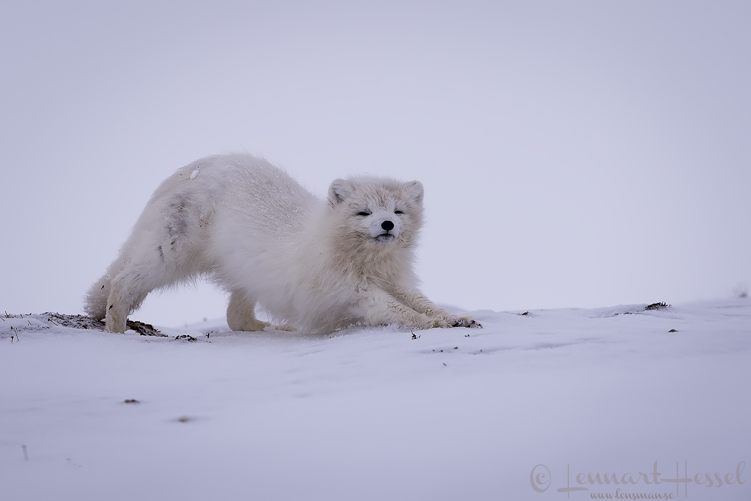 Polar bears Svalbard Arctic Fox