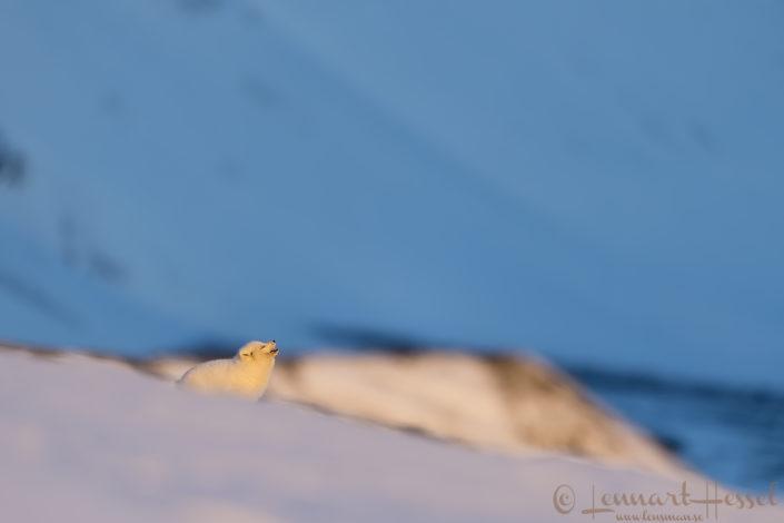 Arctic fox Svalbard