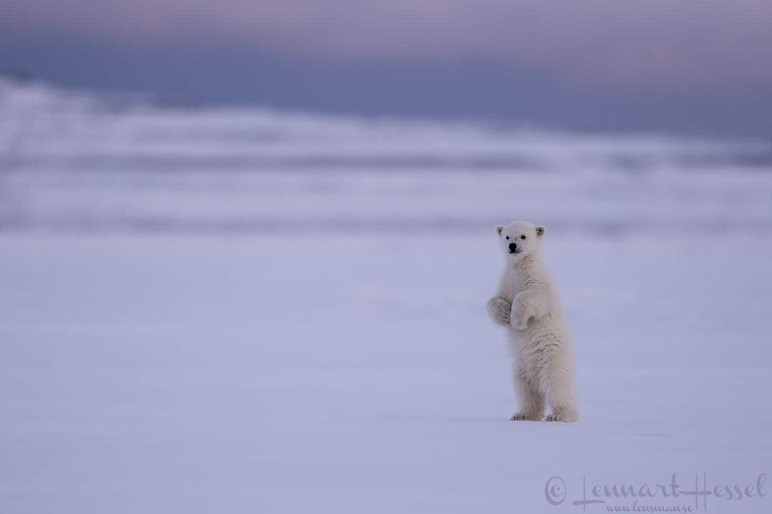 Polar bear cub standing Arctic Svalbard