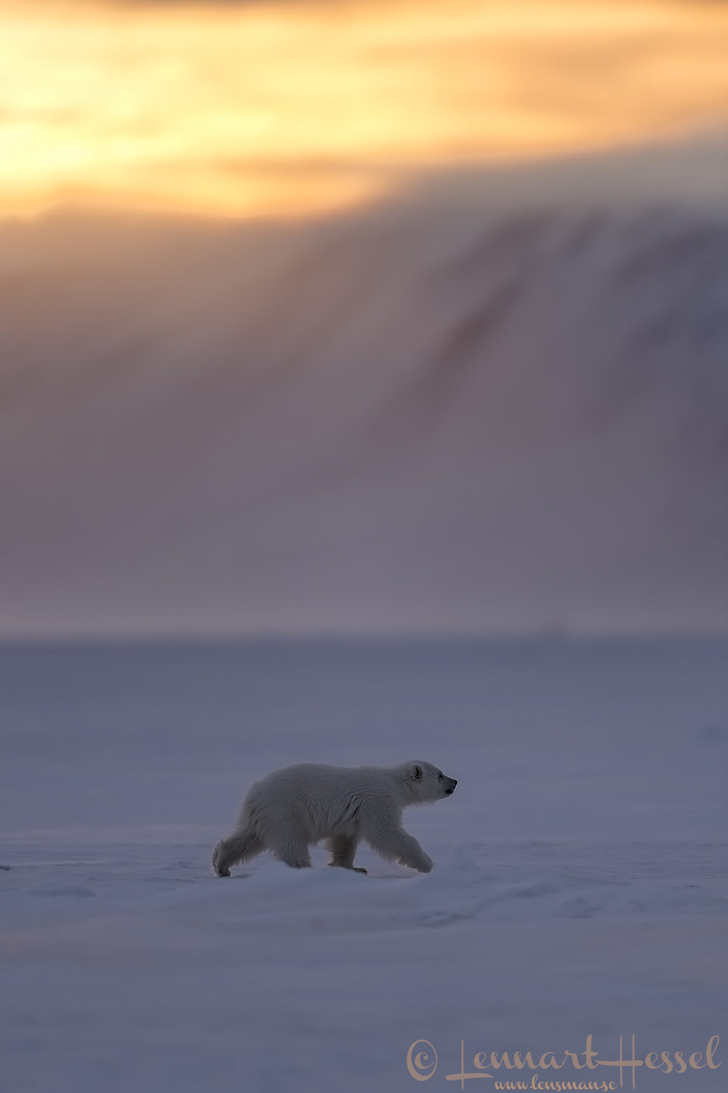 Polar bear cub walking Arctic Svalbard