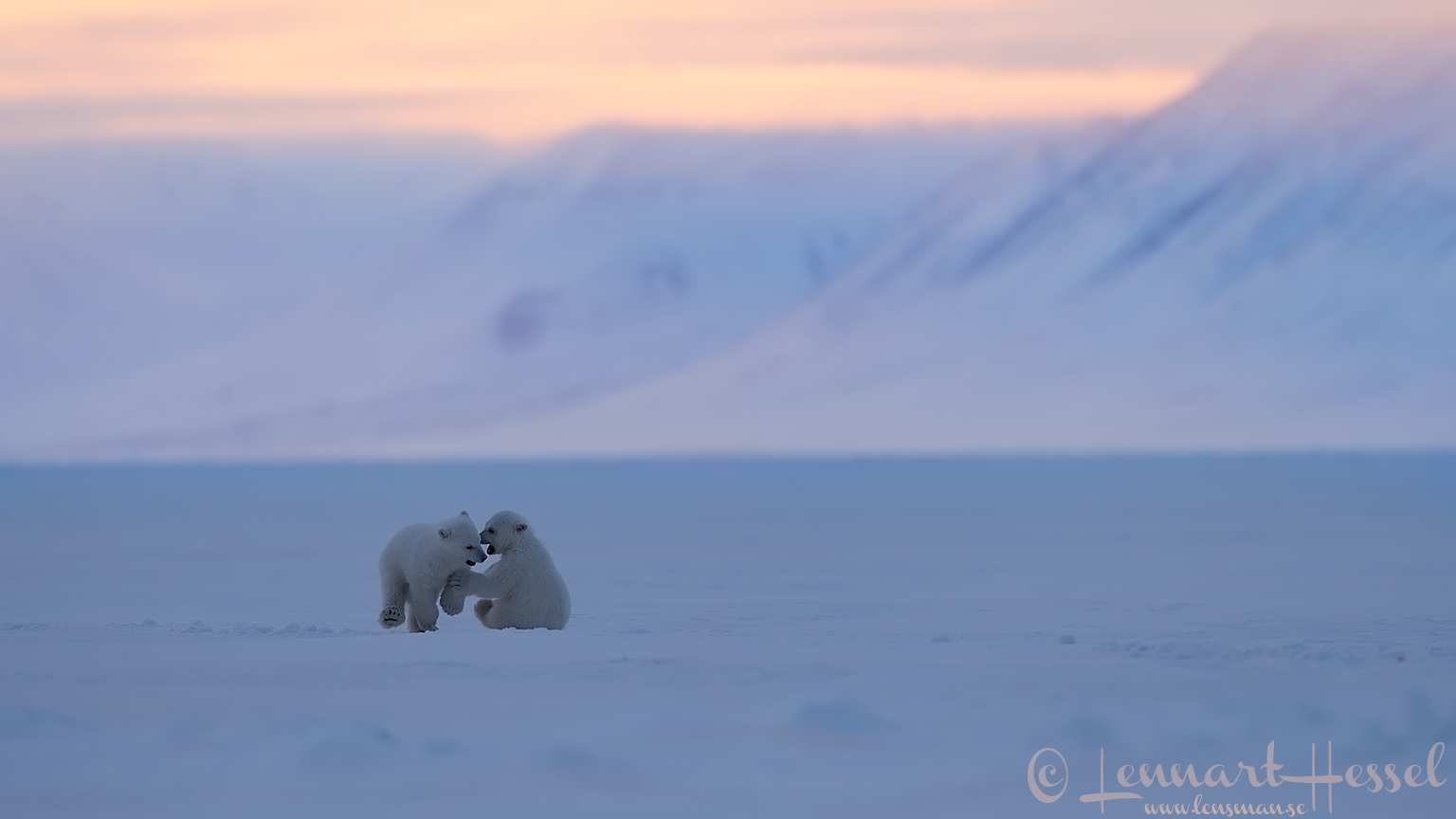 Polar bear cubs playing Arctic Svalbard