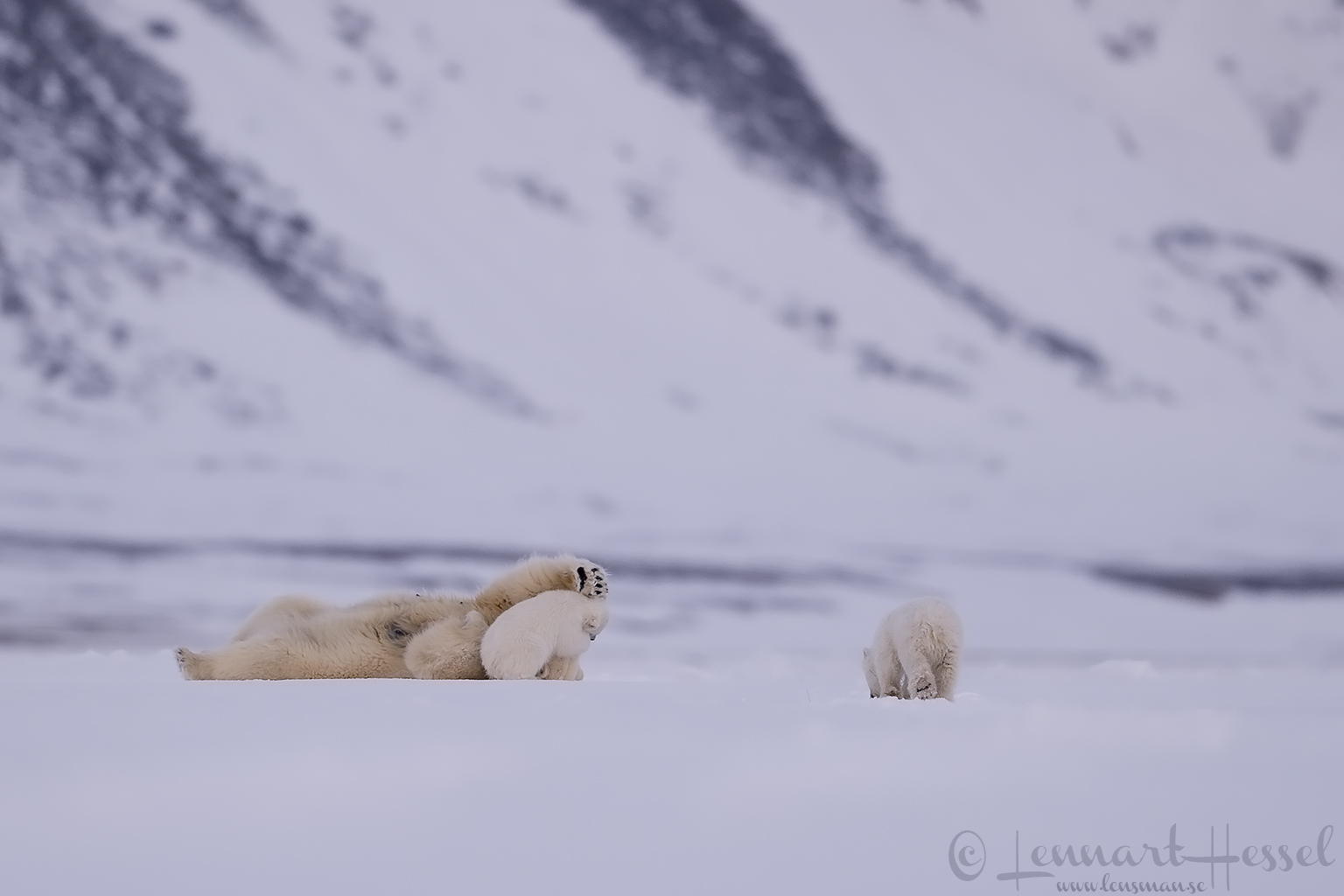 Polar bear family playing Arctic Svalbard