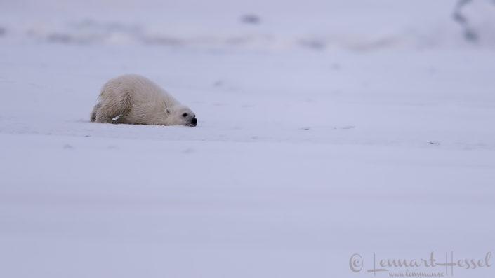 Polar bear cub scrub Arctic Svalbard
