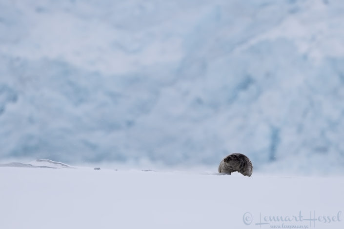 Ringed seal and glacier front Arctic Svalbard
