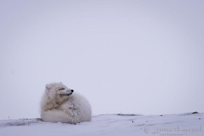 Arctic fox curly Svalbard