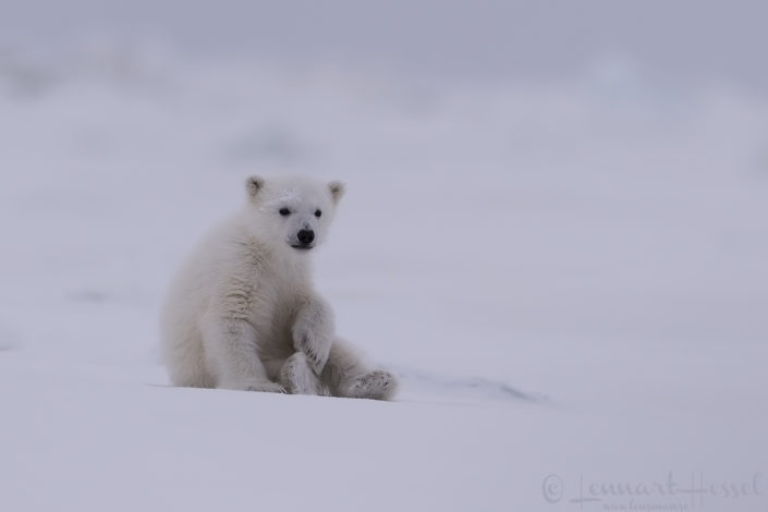 POlar bear cub relaxed Arctic Svalbard