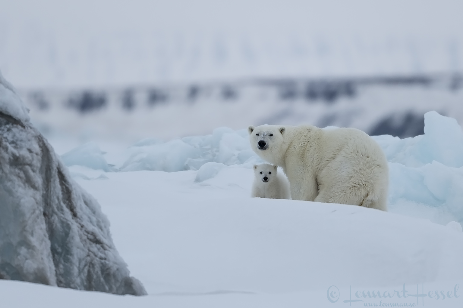 Polar bear cub with mum Arctic Svalbard