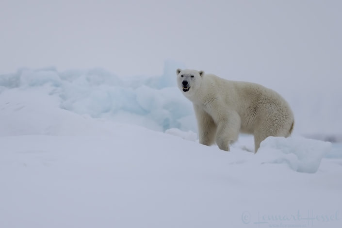 Polar bear mum Actic Svalbard