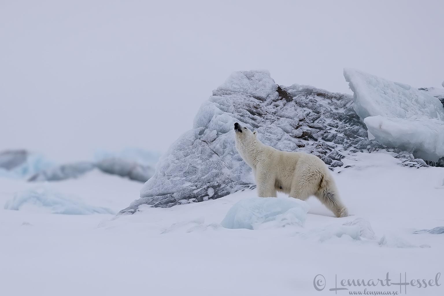 Polar bear mum sniffing Arctic Svalbard