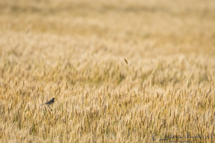 Bluethroat Hungary Bee-eater