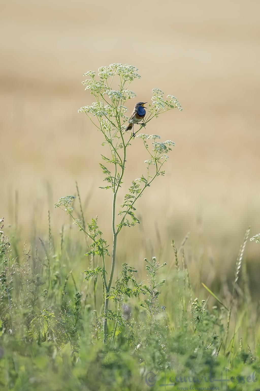 Bluethroat singing Hungary Bee-eater