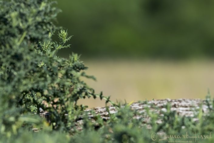 Hoopoe shy Hungary Bee-eater