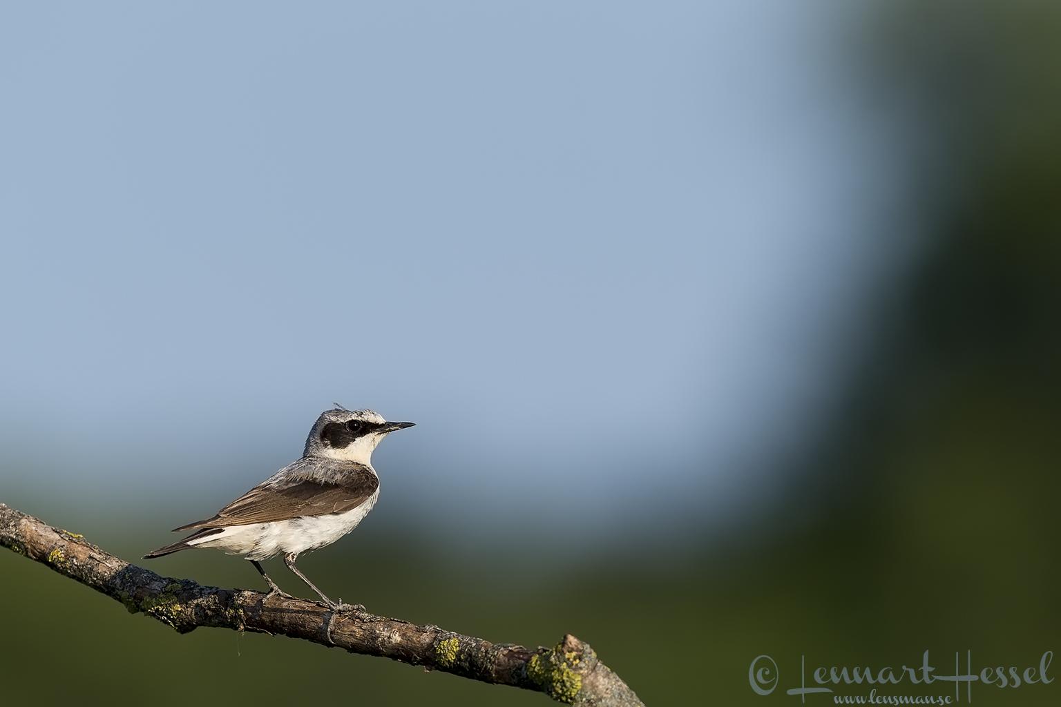 Lesser Grey Shrike Hungary Bee-eater