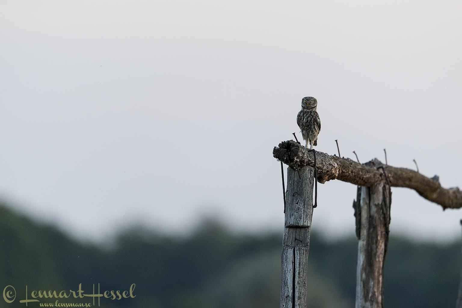 Little Owl Hungary Bee-eater