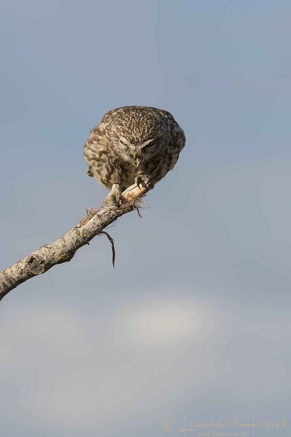 Little Owl barf Hungary Bee-eater