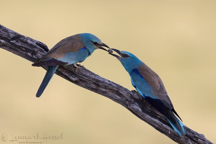 European Rollers Hungary Bee-eater