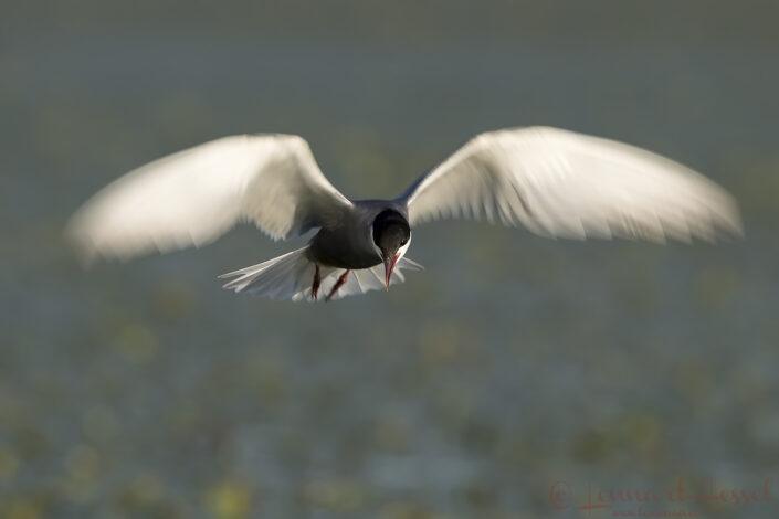 Whiskered Tern slow shutter Hungary Bee-eater