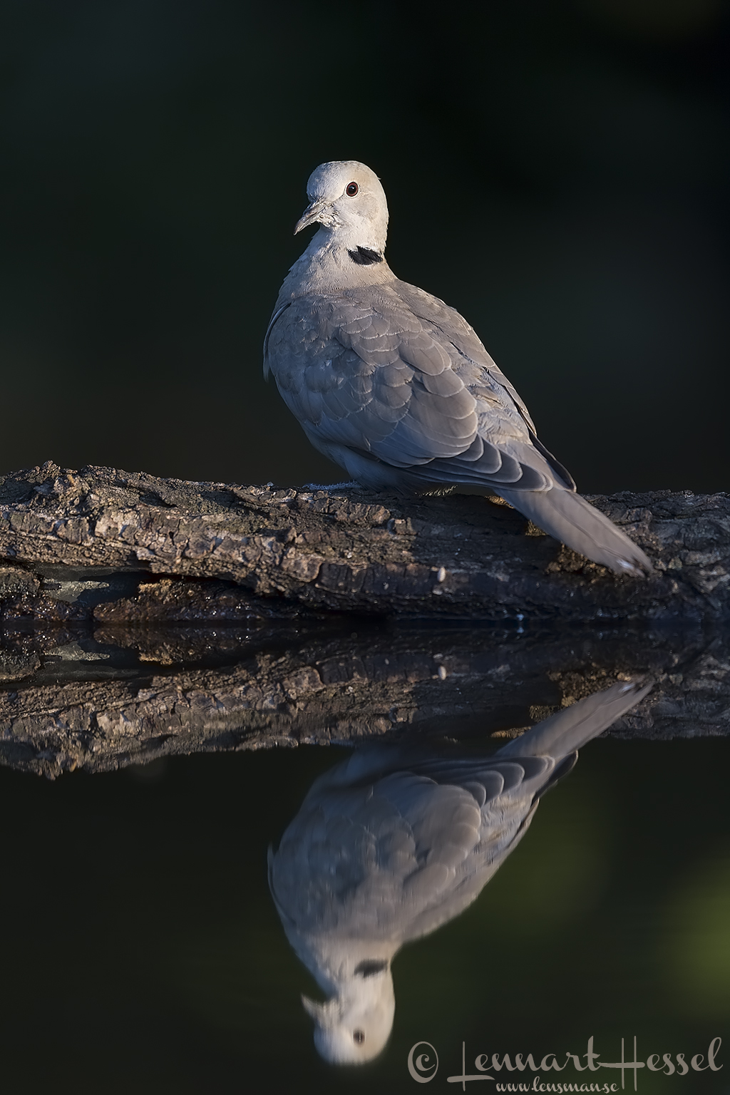 Eurasian Collared Dove Hungary Bee-eater