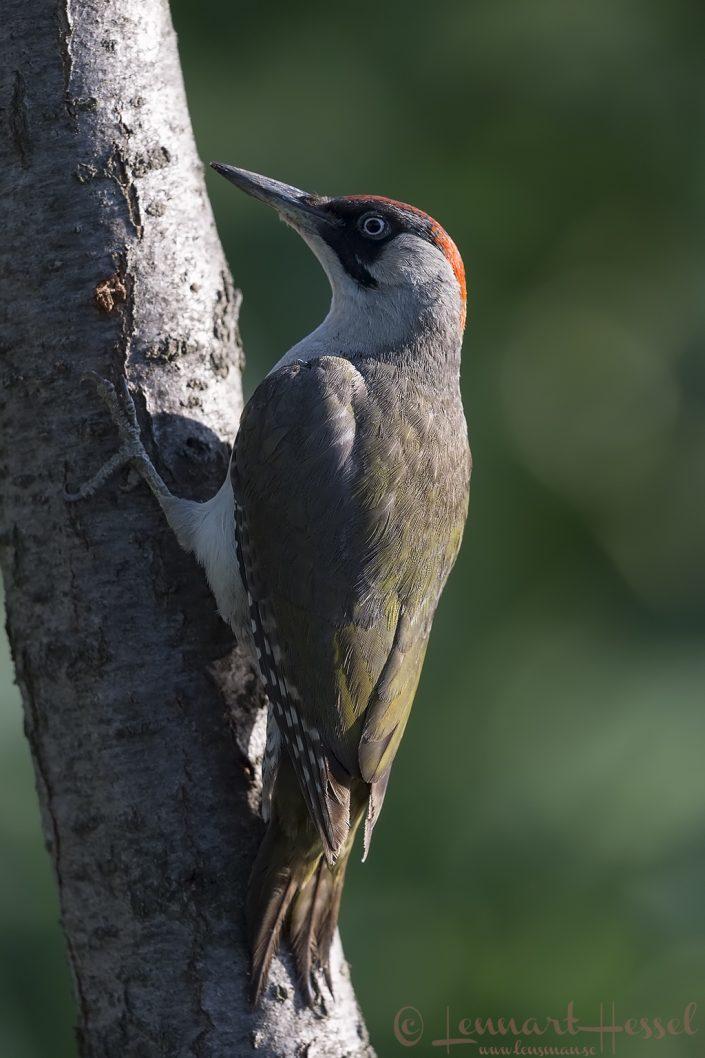 Green Woodpecker Hungary Bee-eater