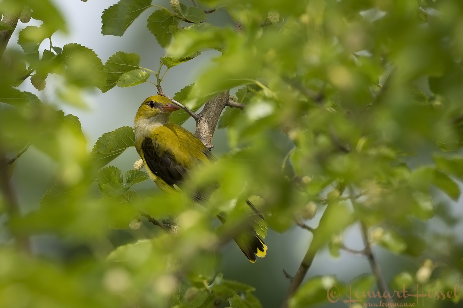 Golden Oriole male Hungary Bee-eater