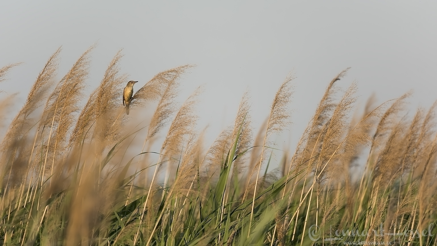 Great Reed Warbler Hungary Bee-eater