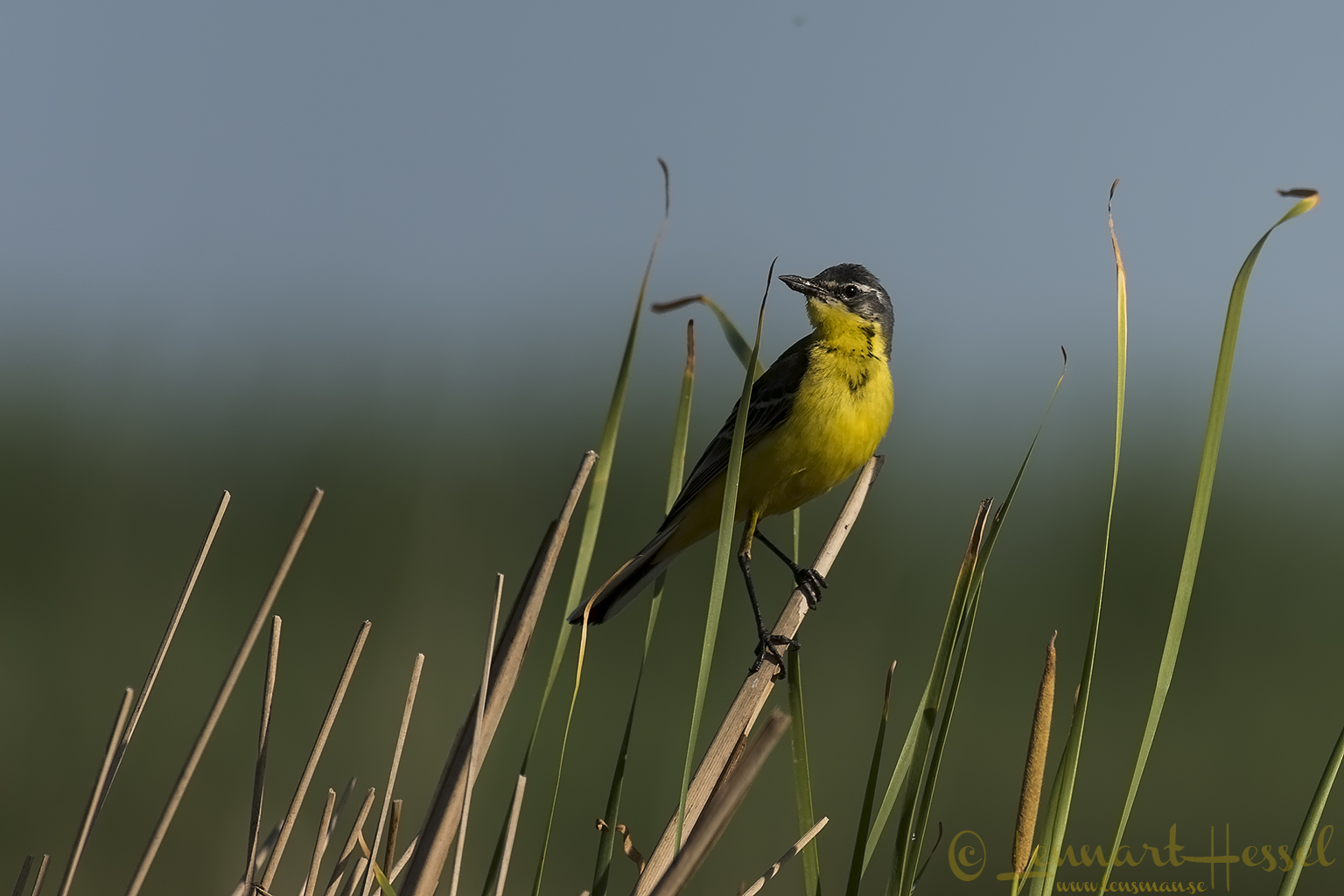 Yellow Wagtail Hungary Bee-eater